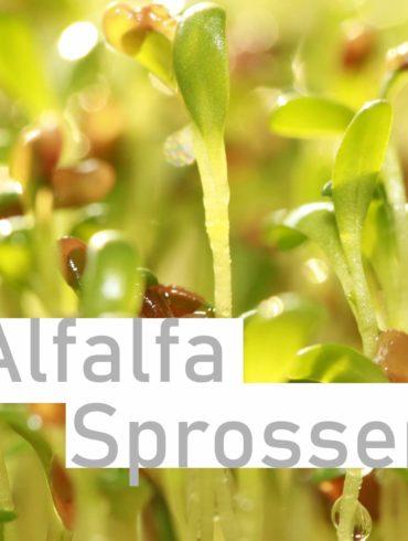 alfalfa-sprossen